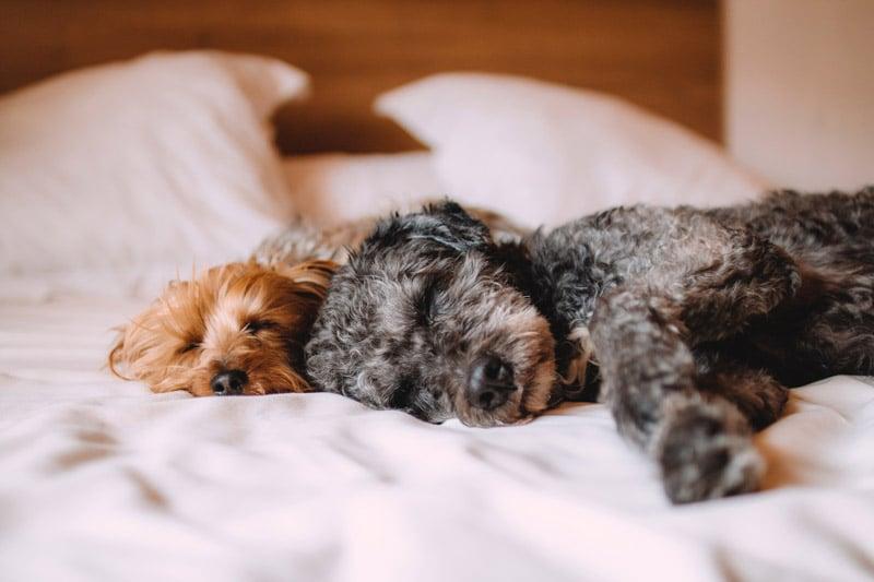 Hunde liegen im Bett
