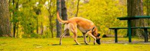 Hund schnüffelt am Boden