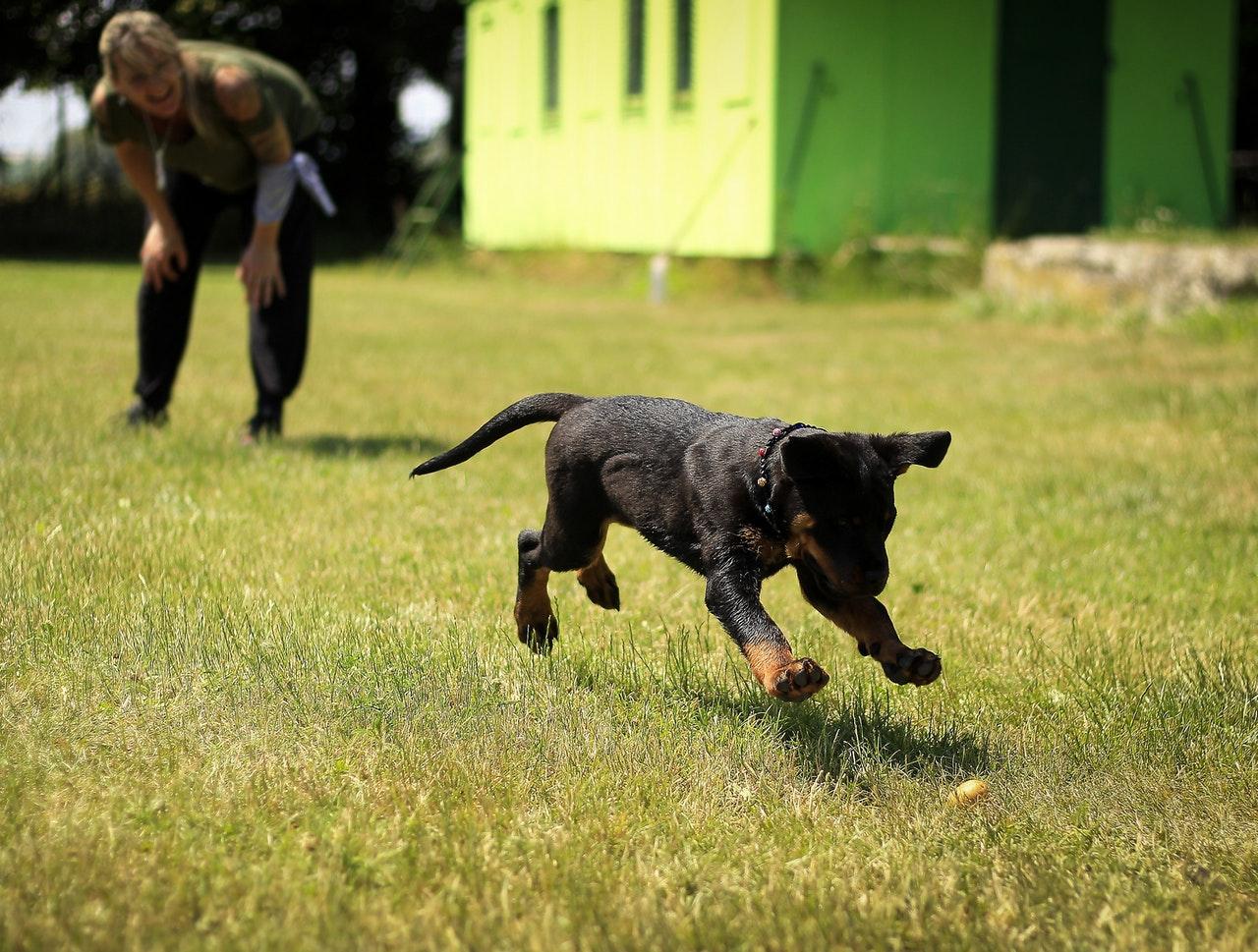 Hund sicht Fressen während des Giftköder-Trainings